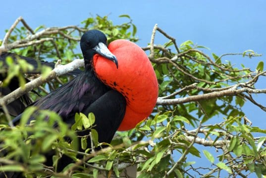 A Frigate Bird showing off its big red pouchPhoto by: (c) stormcastle www.fotosearch.com
