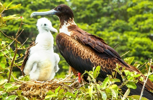 Female Frigate Bird with her chick Photo by: (c) Ammit www.fotosearch.com