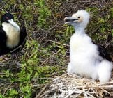 Galapagos Islands Frigate Birds - Mother And Baby Photo By: Graham Hobster Https://pixabay.com/photos/frigate-Bird-Chick-Wildlife-2391539/