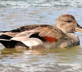 Gadwall Drake Photo By: Nick Goodrum Https://creativecommons.org/licenses/by/2.0/