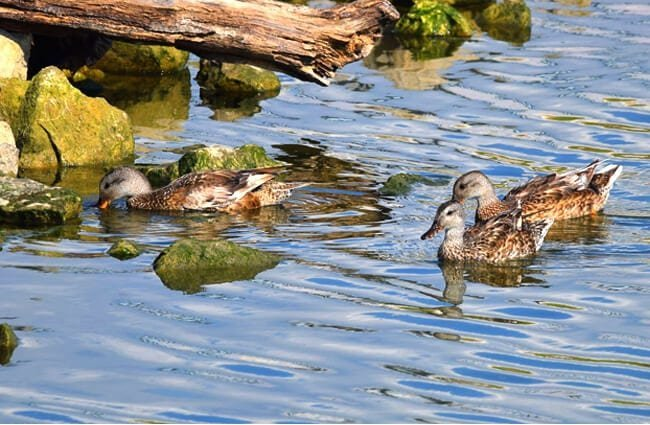 A trio of Gadwalls perusing near the rocky edge of the lake Photo by: Andy Reago & Chrissy McClarren https://creativecommons.org/licenses/by/2.0/