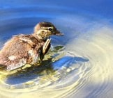 Gadwall Youngling Floating In Shallow Waters Photo By: Hans Benn, Public Domain Https://pixabay.com/photos/gadwall-Chicken-Scratch-Water-Lake-1337820/