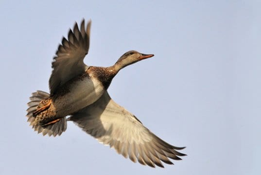 Gadwall in migration.Photo by: skeeze//pixabay.com/photos/duck-flying-gadwall-hen-wildlife-935160/