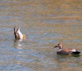 Gadwall Duck Tipped Upside-Down Feeding Photo By: David Mitchell Https://creativecommons.org/licenses/by/2.0/