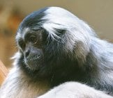 Portrait Of A Beautiful Gibbon