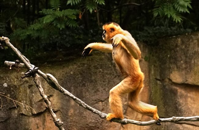 Playful Gibbon
