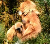 Gibbon Mother With Her Juvenile Offspring