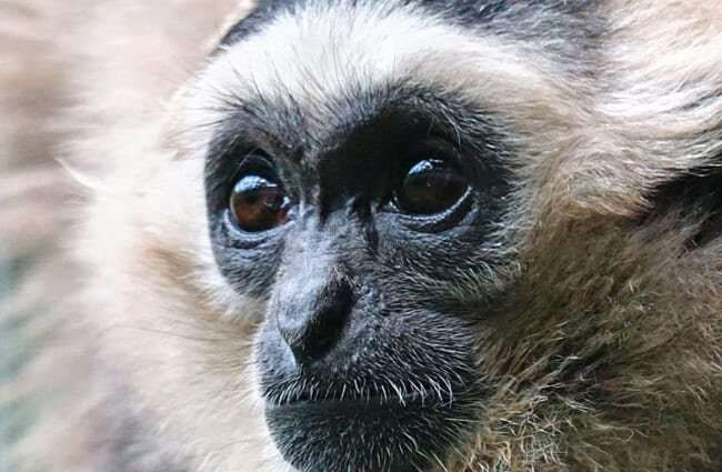 Closeup of a handsome Gibbon