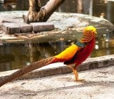 Male Golden Pheasant (Chinese Pheasant) Photo By: (C) Steffstarr Www.fotosearch.com