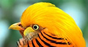 Stunning closeup of a male Golden PheasantPhoto by: Ray Miller, Public Domainhttps://pixabay.com/photos/golden-pheasant-bird-exotic-317503/