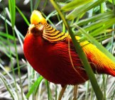 Beautiful Golden Pheasant In The Grass Photo By: Ray Miller, Public Domain Https://pixabay.com/photos/golden-Pheasant-Exotic-Bird-Fly-236019/
