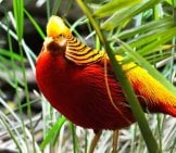 Beautiful Golden Pheasant In The Grass Photo By: Ray Miller, Public Domain //pixabay.com/photos/golden-Pheasant-Exotic-Bird-Fly-236019/