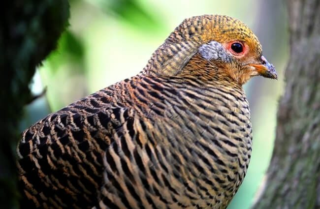 Female Golden Pheasant Photo by: (c) fouroaks www.fotosearch.com
