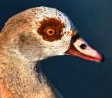 Nile Goose Portrait Photo By: Mabel Amber, Still Incognito... Https://pixabay.com/photos/nile-Goose-Duck-Bird-Waterbird-3538831/