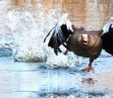 Greylag Goose Running On Water! Photo By: Domenic Hoffmann Https://pixabay.com/photos/greylag-Goose-Goose-Water-Bird-Wing-2139296/