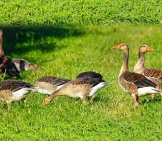 A Flock Of Canada Geese Browsing In The Grass Photo By: Mabel Amber, Still Incognito... //pixabay.com/photos/goose-Waterbird-Waterfowl-Bird-3526503/
