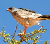 Pale Chanting Goshawkphoto By: Chris Eason//creativecommons.org/licenses/by-Nd/2.0/