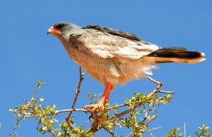 Pale Chanting GoshawkPhoto by: Chris Easonhttps://creativecommons.org/licenses/by-nd/2.0/