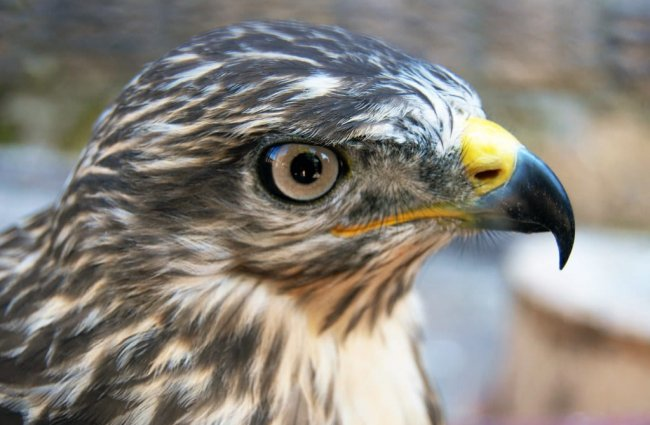 Goshawk closeup Photo by: Aleksandar Cocek //creativecommons.org/licenses/by-nd/2.0/