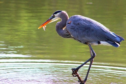 Great Blue with a fish in its beak