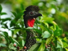 Crested Guan peeking through the foliagePhoto by: Steve Harbula//creativecommons.org/licenses/by-nd/2.0/