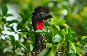 Crested Guan peeking through the foliagePhoto by: Steve Harbulahttps://creativecommons.org/licenses/by-nd/2.0/