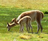 Guanaco Mom With Her Baby Photo By: Falco Https://pixabay.com/photos/chile-South-America-Nature-1038348/