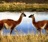 A Pair Of Guanacos In A Private Conversation Photo By: M Silberman Https://creativecommons.org/licenses/by-Sa/2.0/