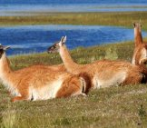 Small Group Of Guanaco Lounging By A Lake Photo By: Christoph Strässler Https://creativecommons.org/licenses/by-Sa/2.0/