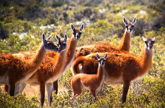 A herd of Guanaco in Argentina Photo by: Marc Veraart https://creativecommons.org/licenses/by-sa/2.0/