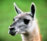 Guanaco Portraitphoto By: Michael Fraleyhttps://creativecommons.org/licenses/by-Sa/2.0/