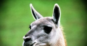Guanaco portraitPhoto by: Michael Fraley//creativecommons.org/licenses/by-sa/2.0/