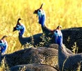 A Flock Of Guinea Fowl Photo By: Fiverlocker Https://creativecommons.org/licenses/by-Sa/2.0/