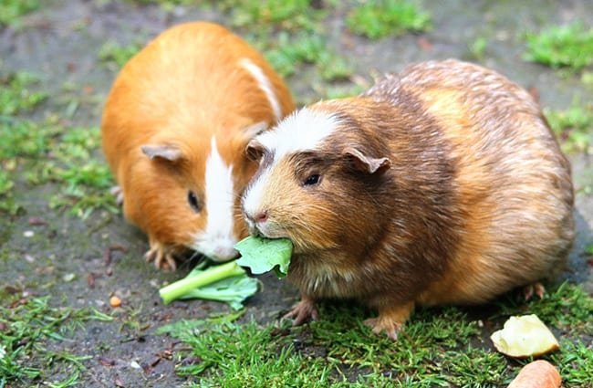 A pair of Guinea Pigs sharing lunch