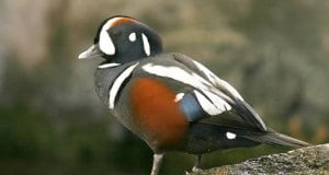 Harlequin Duck in profilePhoto by: skeeze, Public Domain//pixabay.com/photos/harlequin-duck-male-bird-nature-910638/