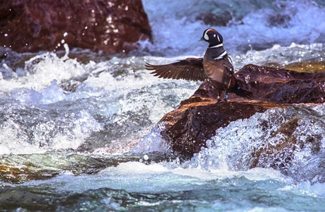 Harlequin Duck in his favorite fast-moving waters Photo by: skeeze, Public Domain //pixabay.com/photos/harlequin-duck-bird-wildlife-nature-1042210/