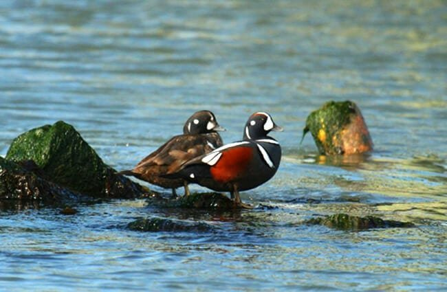 Male and female Harlequin Ducks Photo by: Matt Tillett //creativecommons.org/licenses/by/2.0/