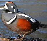 Portrait Of A Beautiful Male Harlequin Duck Photo By: Peggycadigan //creativecommons.org/licenses/by/2.0/