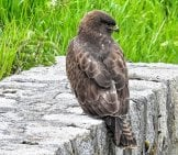 Harrier Hawk Resting On A Stone Wall Photo By: Hans Benn Https://pixabay.com/photos/consecration-Harrier-Raptor-Bird-4187026/