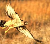 Female Northern Harrier, Photographed At Encinitas, Ca Photo By: Chad King Https://creativecommons.org/licenses/by/2.0/