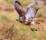 Red Tailed Hawk Taking Off Photo By: Sdc140 Https://Pixabay.com/Photos/Red-Tailed-Hawk-Bird-Nature-3873820/