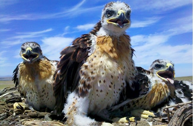 Ferruginous Hawks' nest with Mom and 3 juveniles Photo by: Baker County Tourism Travel Baker County https://creativecommons.org/licenses/by-nd/2.0/