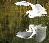 A Beautiful White Heron With His Reflection On The Still Waters.
