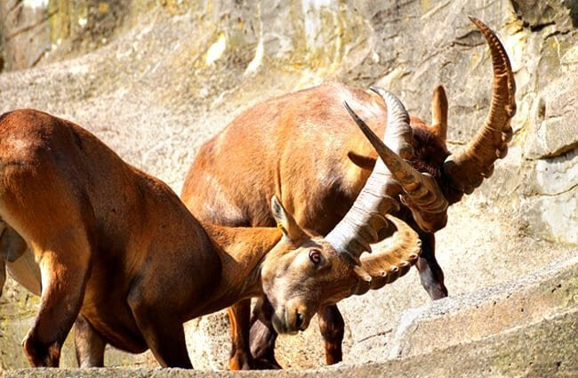 Ibex males sparring in a zoo setting Photo by: suju, Public Domain //pixabay.com/photos/ibex-male-horned-mammal-nature-2462582/