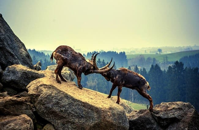 Alpine Ibex males challenging for breeding rights Photo by: Mario Hofer, Public Domain //pixabay.com/photos/capricorn-rock-animal-mountains-1860187/
