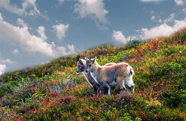 Two juvenile Ibex on a hillside on the Swiss Alps Photo by: Benjamin Wyss, Public Domain //pixabay.com/photos/alpine-ibex-ibex-young-animals-579567/