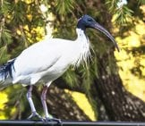 Backyard Visitor - This Ibis Loves A Good Barbecue! Photo By: John Https://Creativecommons.org/Licenses/By/2.0/