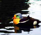 King Eider Duck On Dark Waters Photo By: Zaskoda Https://creativecommons.org/licenses/by/2.0/