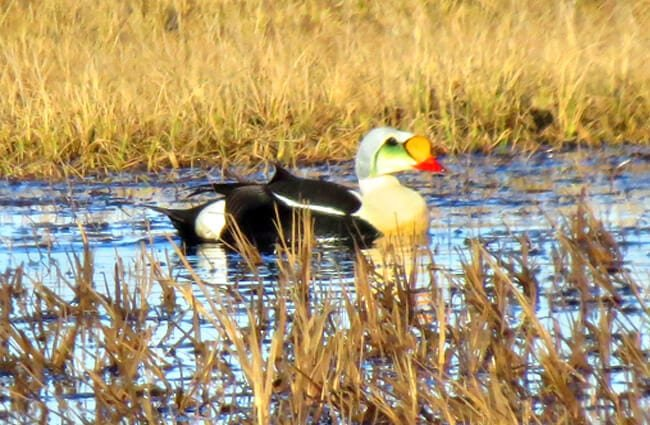 King Eider in marshy wetlands in Barrow, Alaska Photo by: Don Faulkner //creativecommons.org/licenses/by/2.0/
