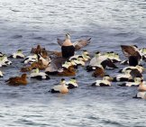 A Raft Of King Eider Ducks Photo By: Silver Leapers Https://creativecommons.org/licenses/by/2.0/